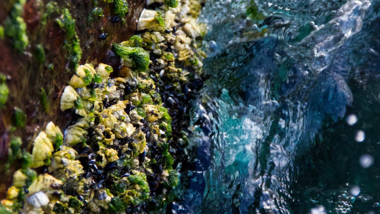 groenlip mossel